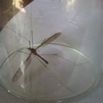 """Tin tức trong ngày - Muỗi khổng lồ ở Quảng Bình là ruồi """"si tình""""?"""