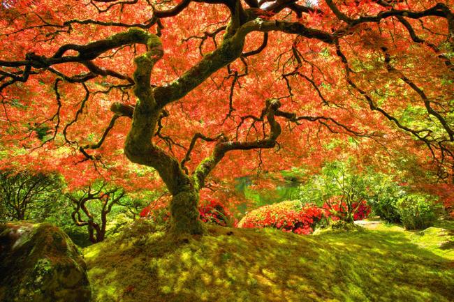2. Cây thích cổ thụ tại & nbsp;công viên Washington, thuộc phía Tây thành phố Portland, tiểu bang Oregon (Mỹ).