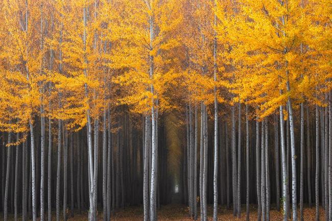 3. Rừng phong & nbsp;nhuộm một màu vàng ở thành phố & nbsp;Portland, bang Oregon (Mỹ).