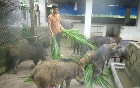 Mày mò nuôi lợn rừng sạch, đút túi hàng trăm triệu đồng - 1