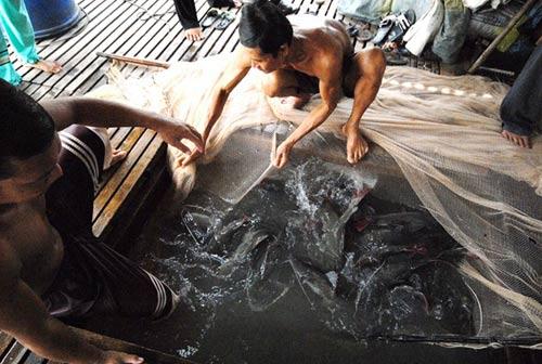 Đua nhau nuôi cá lăng nha đuôi đỏ ở miền Tây - 2
