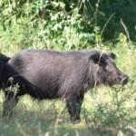 Cẩm nang tìm việc - Mày mò nuôi lợn rừng sạch, đút túi hàng trăm triệu đồng