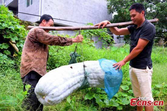 Quả bí khổng lồ nặng gần 87 kg - 1