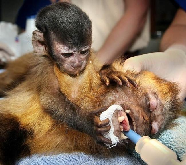 Chú khỉ con Chequita đang âu yếm mẹ Cassie trong khi cô ấy thực hiện một cuộc phẫu thuật tại vườn thú Melbourne, Australia.