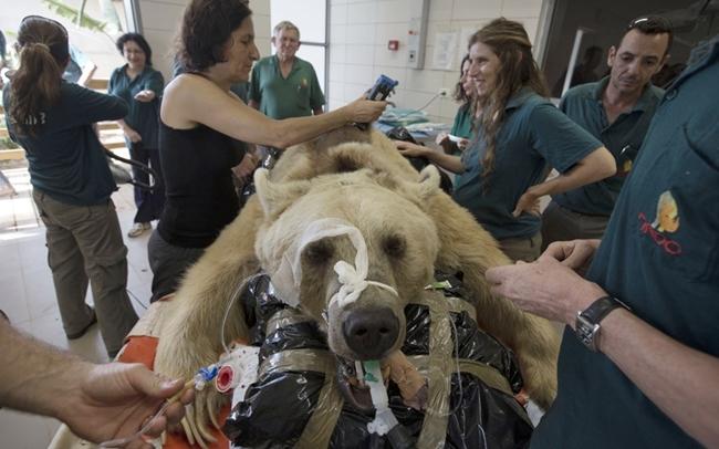 Mango là một con gấu nâu đực Syria 19 tuổi. Nó nằm ngoan ngoãn trên một chiếc giường chuẩn bị cho cuộc phẫu thuật ở bệnh viện Ramat Gan gần Tel Aviv, Israel.