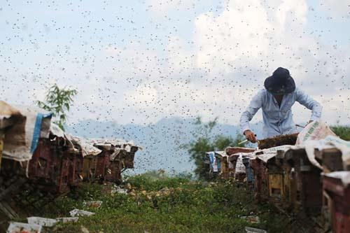 Nuôi ong nguy hiểm, thu tiền tỷ mỗi mùa ở Mộc Châu - 2