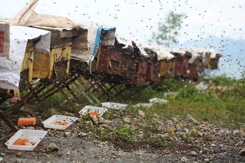 Nuôi ong nguy hiểm, thu tiền tỷ mỗi mùa ở Mộc Châu - 3