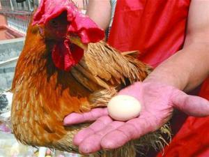 Video: Chú gà trống vừa biết gáy vừa biết đẻ trứng