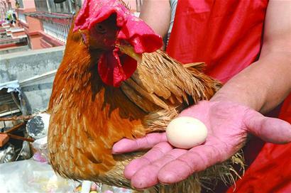 Video: Chú gà trống vừa biết gáy vừa biết đẻ trứng - 1