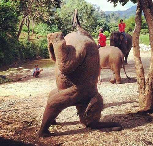 Hài hước với chú voi trồng cây chuối - 1