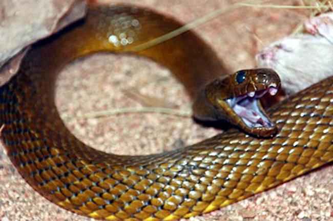 1. Rắn Taipan – dài khoảng 1,8m, chủ yếu sống ở Australia, là loài rắn độc nhất thế giới. Nọc độc từ một vết cắn của loài rắn này đủ để giết 100 người đàn ông trưởng thành, tương đương với hơn 200 000 con chuột.