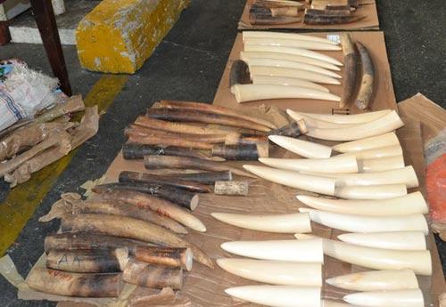 Bắt vụ buôn lậu hơn 40 kg ngà voi qua sân bay Tân Sơn Nhất - 1