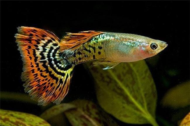 1.  Cá bảy màu  Cá bảy màu (Poecilia Recticulata) có mặt ở rất nhiều nơi trên thế giới với màu sắc bắt mắt như chính cái tên của nó vậy.  Loại cá này ăn tất cả các loại thủy thực vật và động vật (rong, tảo, moina...) dẫn đến không còn thức ăn cho các loại cá khác. Cá bảy màu trở thành loài nguy hiểm nhất thế giới, thậm chí hơn cả hổ và cá mập.