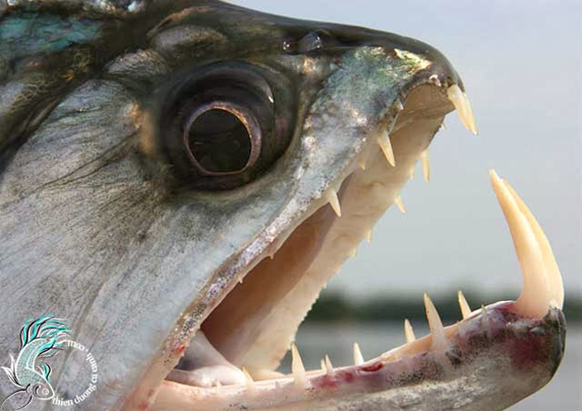 2.  Cá ma cà rồng Payara  Cá ma cà rồng Payara (Hydrolycus scomberoides), chủ yếu sống ở khu vực nước ngọt ở Venezuela và trong lưu vực sông Amazon. Chúng được mệnh danh là loài cá nước ngọt hung dữ nhất thế giới.  Payara là loài cá săn mồi vô cùng dữ tợn, có khả năng nuốt số lượng cá bằng một nửa kích thước của cơ thể. Chúng có hai chiếc răng nanh mọc ra từ hàm dưới với chiều dài 15cm, được dùng để đâm xuyên qua con mồi rồi ăn thịt. Hàm trên của cá có những chiếc hố đặc biệt dùng để tránh những chiếc răng nanh tự đâm chúng.