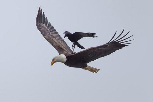 Kỳ thú: Đại bàng cõng quạ đi săn - 1