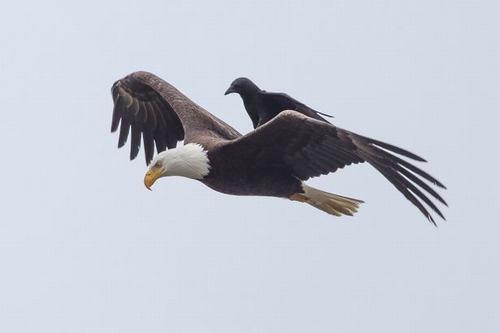 Kỳ thú: Đại bàng cõng quạ đi săn - 3