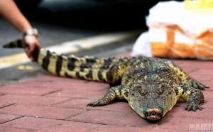 Thưởng 3,2 triệu cho ai dám hôn cá sấu