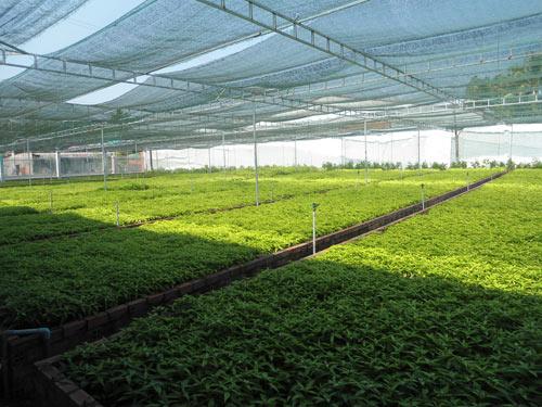 Phát triển cây trà Hoàn Ngọc có hoạt chất hỗ trợ trị ung thư - 1