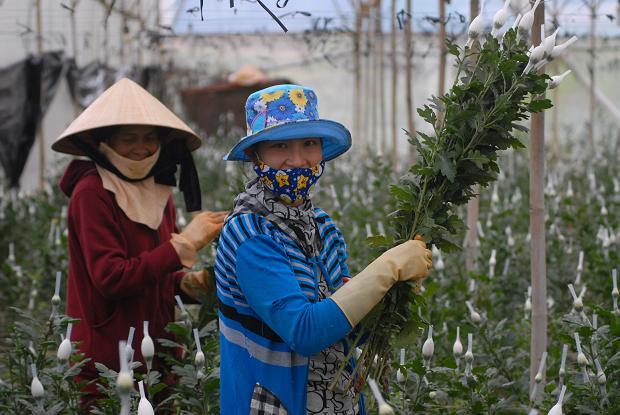 Hoa cúc tăng giá mạnh, nông dân Đà Lạt trúng lớn - 1
