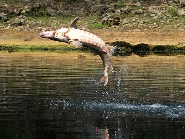 Mỹ: Chèo thuyền trên sông, bé 5 tuổi bị cá tầm giết chết - 1