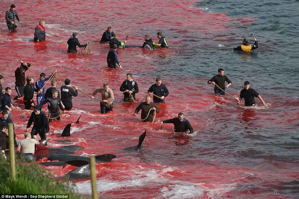 Cận cảnh cuộc đi săn cá voi đẫm máu ở quần đảo Faroe - 2