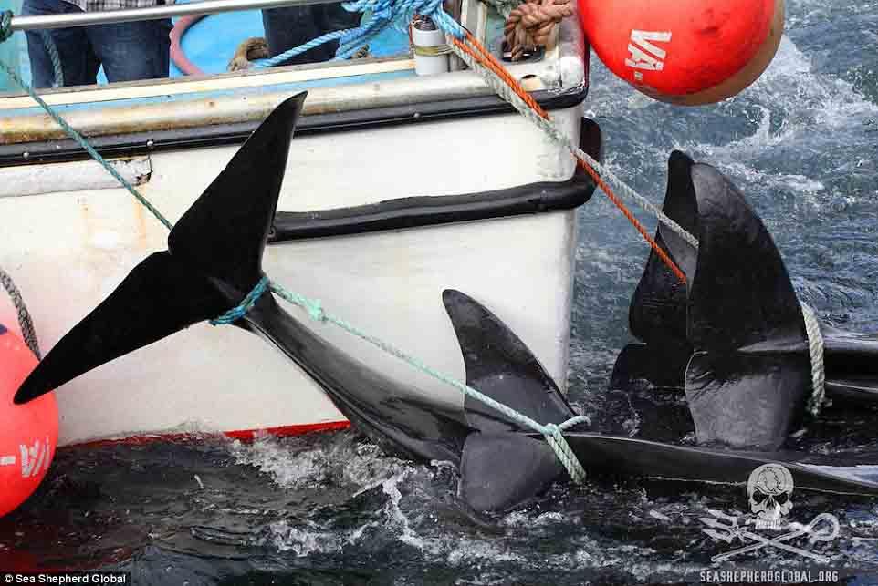 Cận cảnh cuộc đi săn cá voi đẫm máu ở quần đảo Faroe - 7
