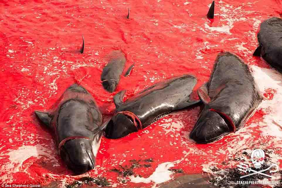 Cận cảnh cuộc đi săn cá voi đẫm máu ở quần đảo Faroe - 6