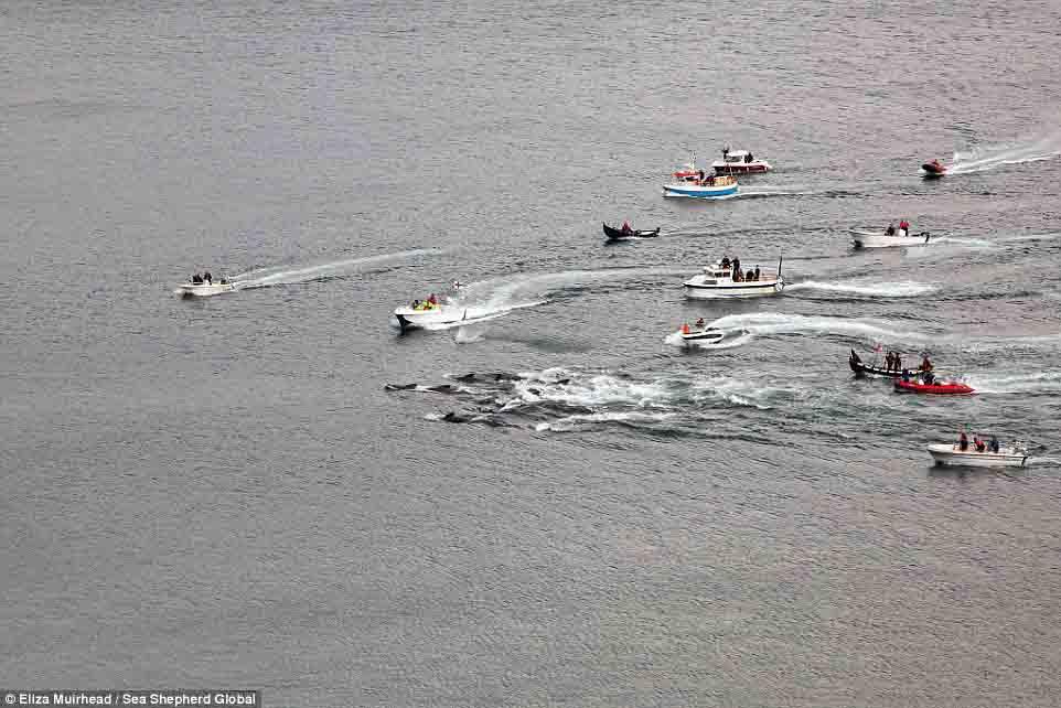 Cận cảnh cuộc đi săn cá voi đẫm máu ở quần đảo Faroe - 4