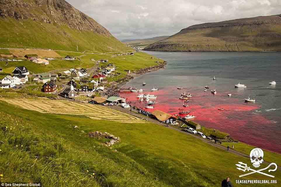 Cận cảnh cuộc đi săn cá voi đẫm máu ở quần đảo Faroe - 8