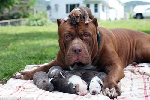 Choáng váng với đàn chó pitbull con giá 10 tỉ đồng - 1