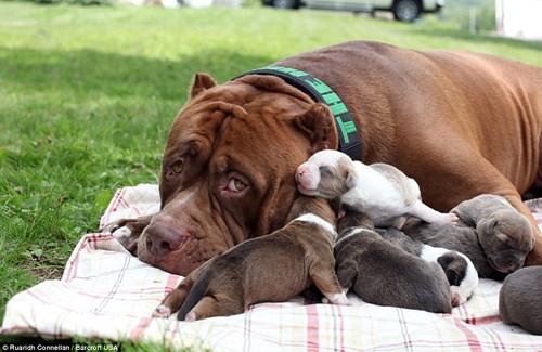 Choáng váng với đàn chó pitbull con giá 10 tỉ đồng - 2