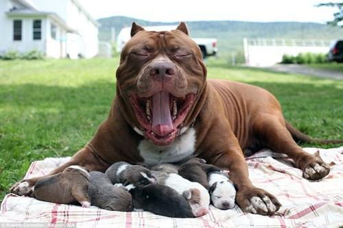 Choáng váng với đàn chó pitbull con giá 10 tỉ đồng - 3