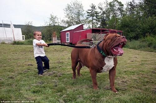 Choáng váng với đàn chó pitbull con giá 10 tỉ đồng - 5