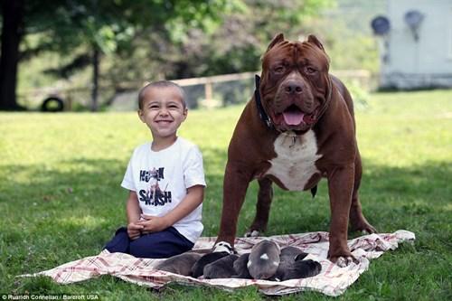 Choáng váng với đàn chó pitbull con giá 10 tỉ đồng - 6