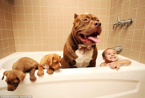 Choáng váng với đàn chó pitbull con giá 10 tỉ đồng - 7
