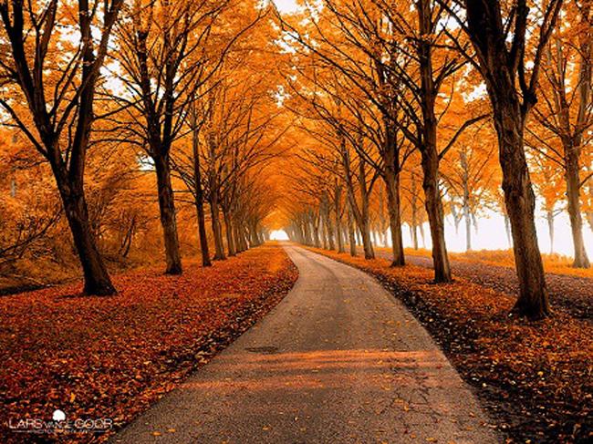 Con đường mùa thu rợp lá phong đỏ.
