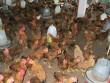 Bản tin tài chính kinh doanh 30/07: Hộ chăn nuôi gia cầm liên tục kêu lỗ