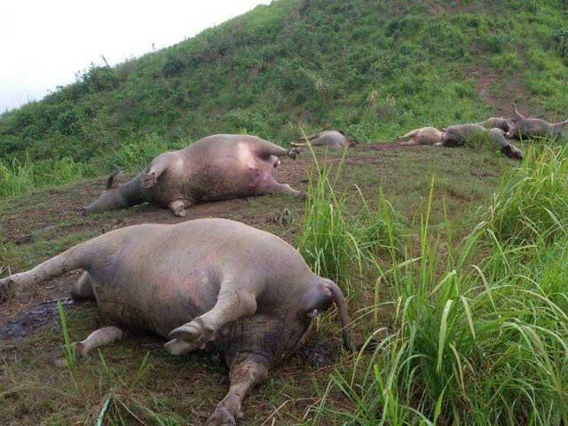 Hà Giang: Bị sét đánh, 19 con trâu chết tại chỗ - 1