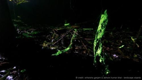 Kỳ lạ khu rừng phát sáng trong đêm ở ấn độ - 1