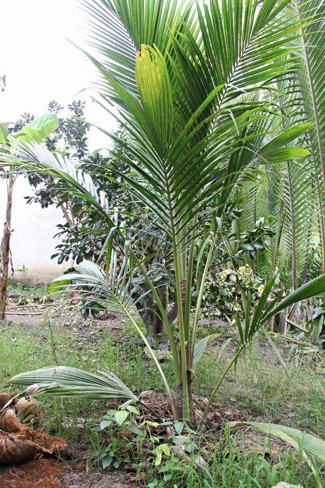 Đặc sản dừa sáp Cầu Kè thơm ngon gần triệu đồng một cây giống - 4
