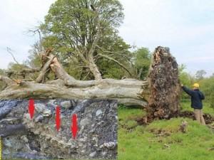 Phát hiện bộ xương 900 năm tuổi dưới gốc cây 215 tuổi