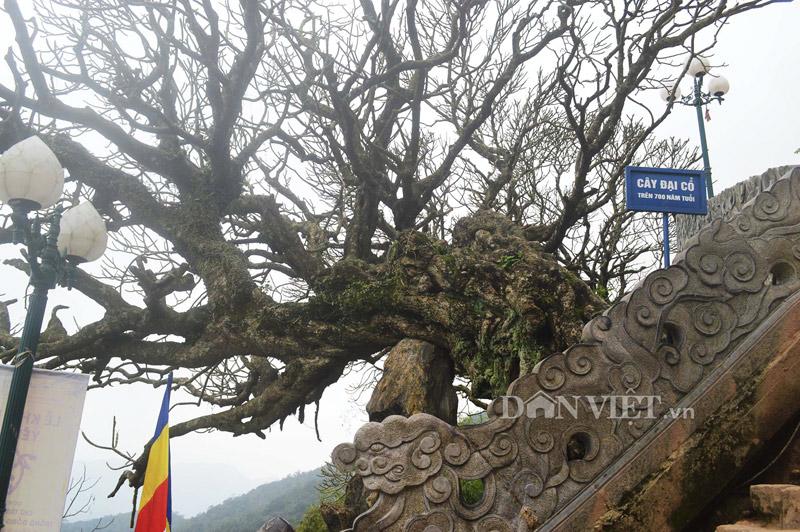 Ngắm cây đại cổ 700 trăm năm ở non thiêng Yên Tử - 1