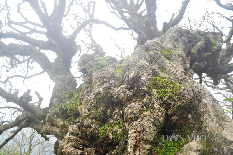 Ngắm cây đại cổ 700 trăm năm ở non thiêng Yên Tử - 2