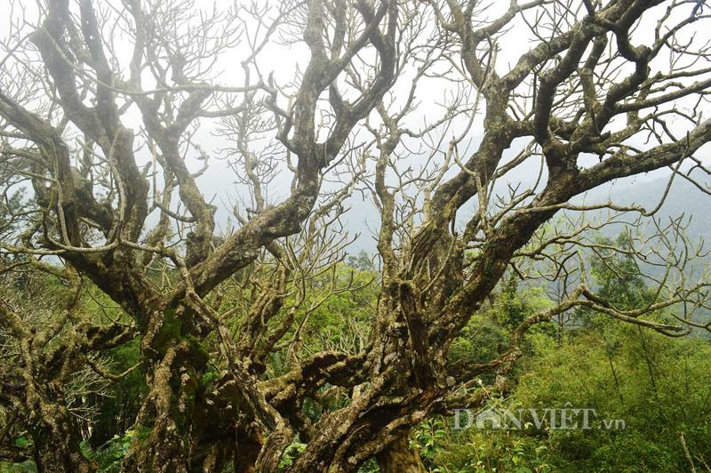 Ngắm cây đại cổ 700 trăm năm ở non thiêng Yên Tử - 3