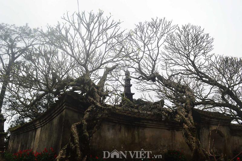 Ngắm cây đại cổ 700 trăm năm ở non thiêng Yên Tử - 5