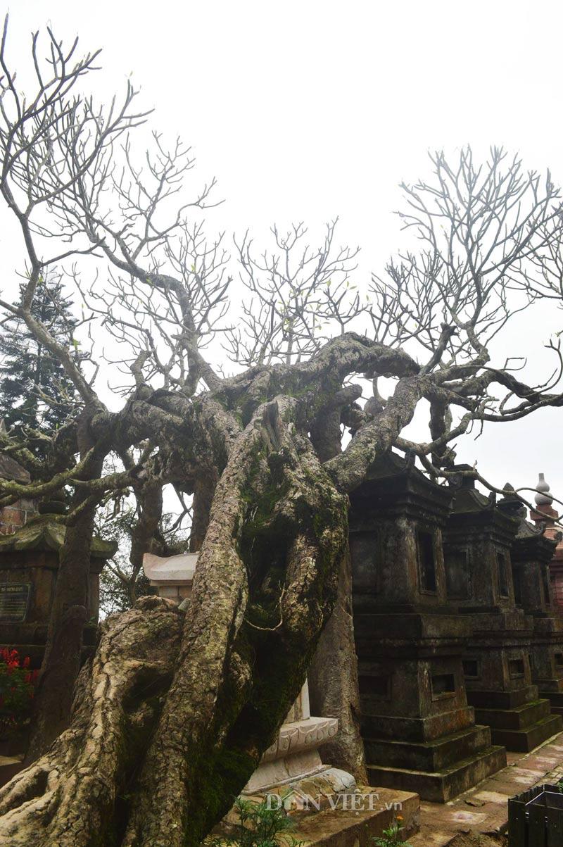 Ngắm cây đại cổ 700 trăm năm ở non thiêng Yên Tử - 6