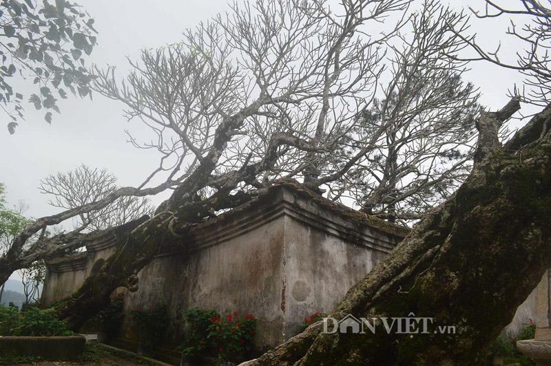 Ngắm cây đại cổ 700 trăm năm ở non thiêng Yên Tử - 7