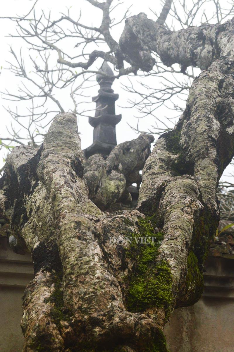 Ngắm cây đại cổ 700 trăm năm ở non thiêng Yên Tử - 8