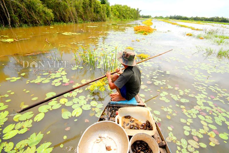 Đi săn cua đồng miền Tây mùa nước lũ - 2