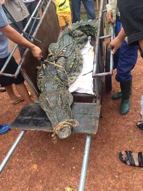 CA truy tìm nguồn gốc cá sấu bắt được ở hồ câu nổi tiếng HN - 1